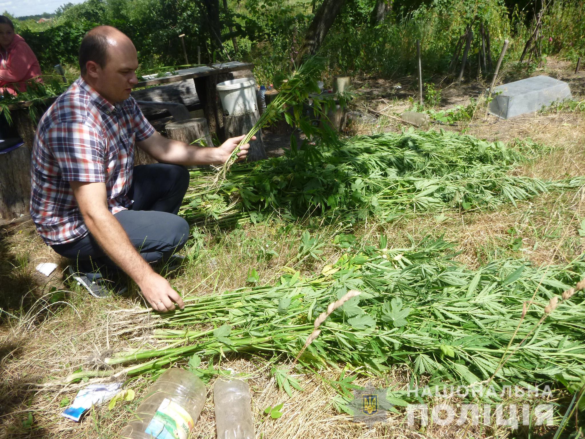 На Сумщині поліцейські знищили чималий конопляний садок. ФОТО
